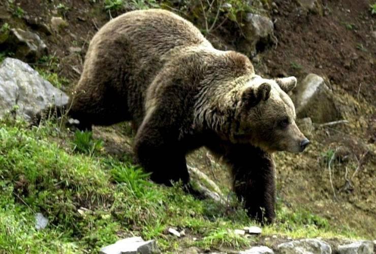 Doua persoane au fost atacate de o ursoaica in Dambovita!
