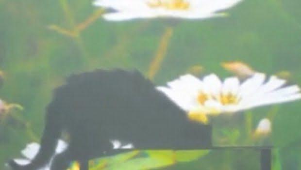 """Cercetatorii chinezi au inventat """"MANTIA INVIZIBILITATII""""! Vezi cum au putut face sa dispara o pisica si un peste! VIDEO"""