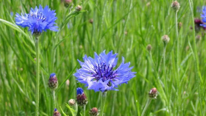 Efectele MIRACULOASE ale albastrelelor: de la artrita la stres si depresie!