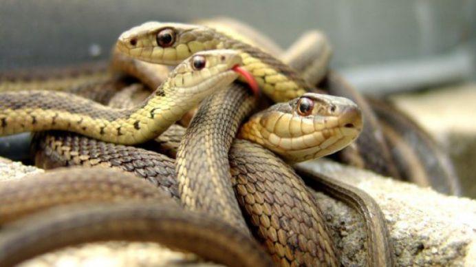 Trei bistriteni muscati de serpi veninosi in ultimele ore! Ce trebuie facut in cazul unei muscaturi?