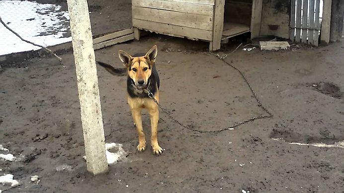 Protectia animalelor! Amenda de 5000 de lei pentru romanii care tin cainii LEGATI IN LANT!