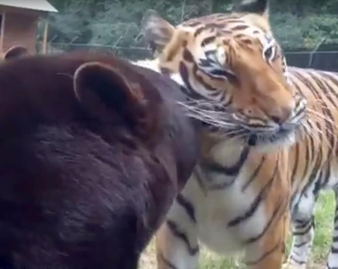VIDEO INCREDIBIL – Dupa o viata CHINUITA un urs, un leu si un tigru sunt CEI MAI BUNI PRIETENI!