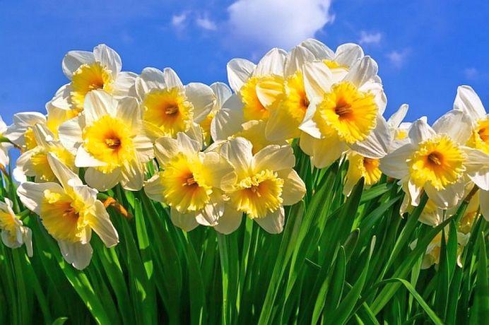Cinci flori banale, foarte frumoase si EXTREM DE TOXICE!