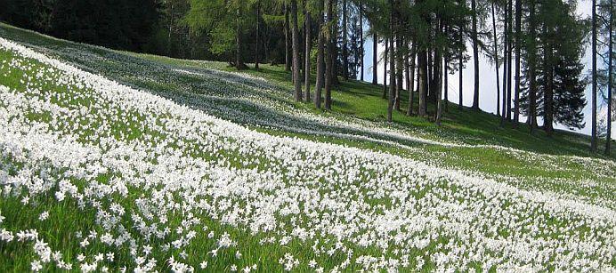 Au inflorit narcisele din Muntii Rodnei! Timp de doua saptamani acesta este CEL MAI FRUMOS LOC din Romania!