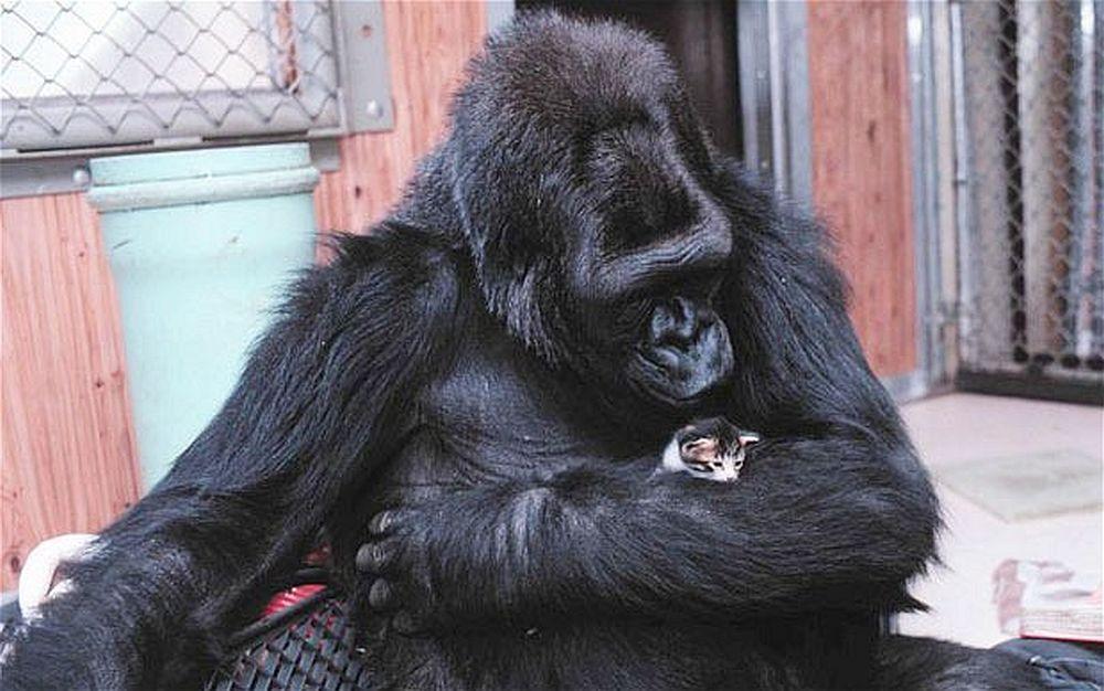 VIDEO UIMITOR – Folosindu-se de limbajul semnelor, Gorila Koko transmite un mesaj INCREDIBIL omenirii!