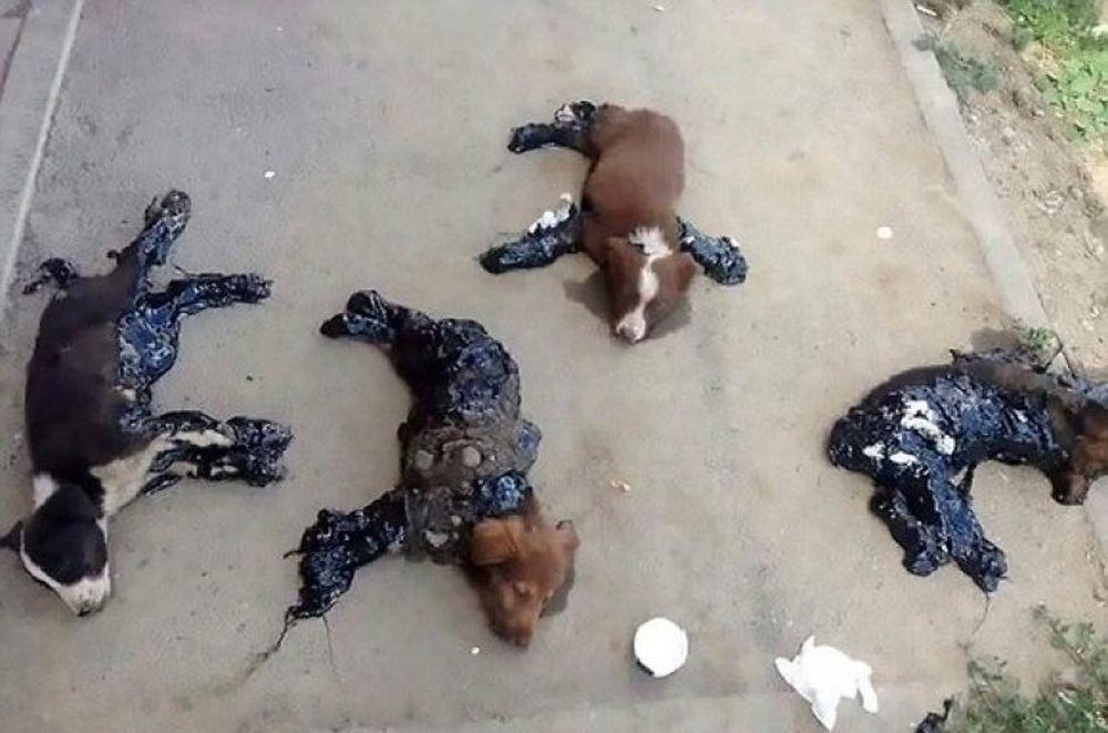 VIDEO SOCANT! Animale, nu oameni! Catelusi lipiti de vii cu SMOALA de asfalt, la Iasi!