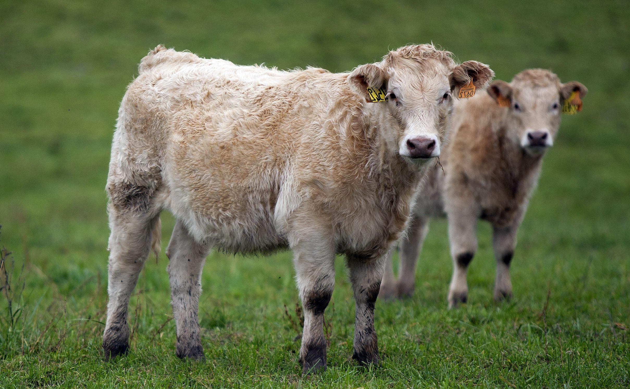 Avertisment SOC din Parlamentul European: Cel mai probabil MANCAM DEJA animale clonate!