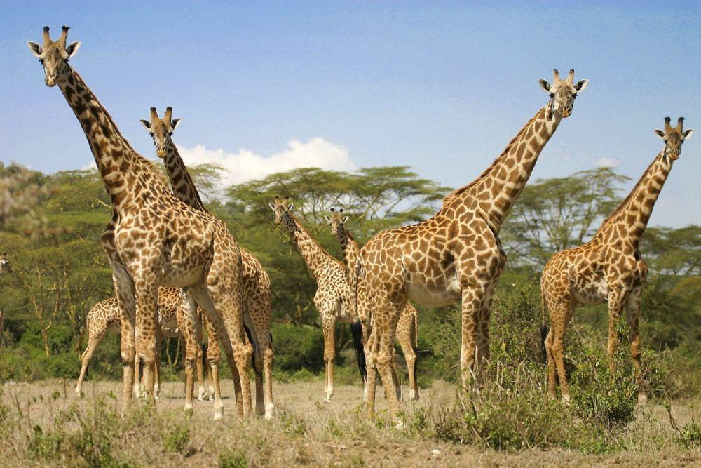 Anunt SOC al expertilor: În câțiva ani girafele DISPAR de pe fata pamantului!
