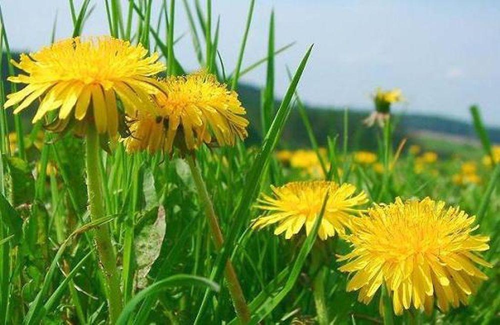 Cea mai tare afacere din agricultura romaneasca: Castigi 2000 de euro pe luna cultivand PAPADIE!
