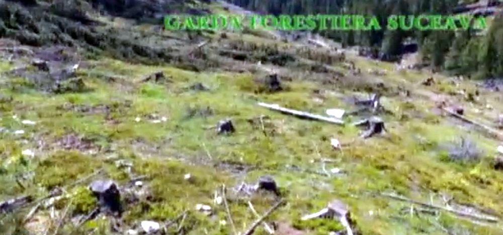 VIDEO – DEZASTRU in padurile din Suceava! Copacii sunt SMULSI DIN RADACINI cu aprobarea politicienilor de la Bucuresti!